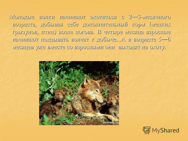 Молодые волки начинают охотиться с 2 3-месячного возраста, добывая себе дополнительный корм (мелких грызунов, птиц) возле логова. В четыре месяца взрослые начинают подзывать волчат к добыче...А в возрасте 5 6 месяцев уже вместе со взрослыми они выход