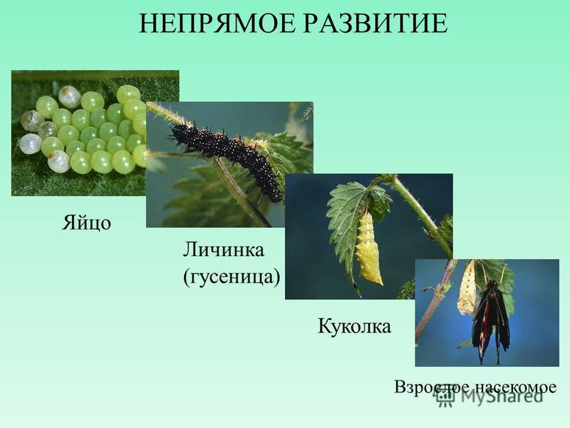 НЕПРЯМОЕ РАЗВИТИЕ Яйцо Личинка (гусеница) Куколка Взрослое насекомое