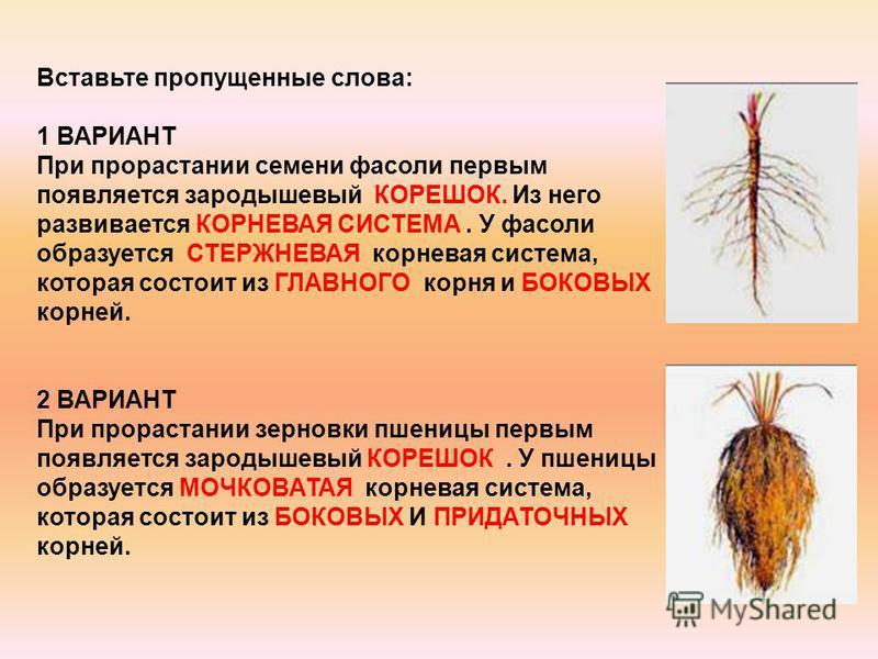 Вставьте пропущенные слова: 1 ВАРИАНТ При прорастании семени фасоли первым появляется зародышевый КОРЕШОК. Из него развивается КОРНЕВАЯ СИСТЕМА. У фасоли образуется СТЕРЖНЕВАЯ корневая система, которая состоит из ГЛАВНОГО корня и БОКОВЫХ корней. 2 ВА