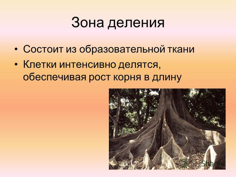 Зона деления Состоит из образовательной такни Клетки интенсивно делятся, обеспечивая рост корня в длину