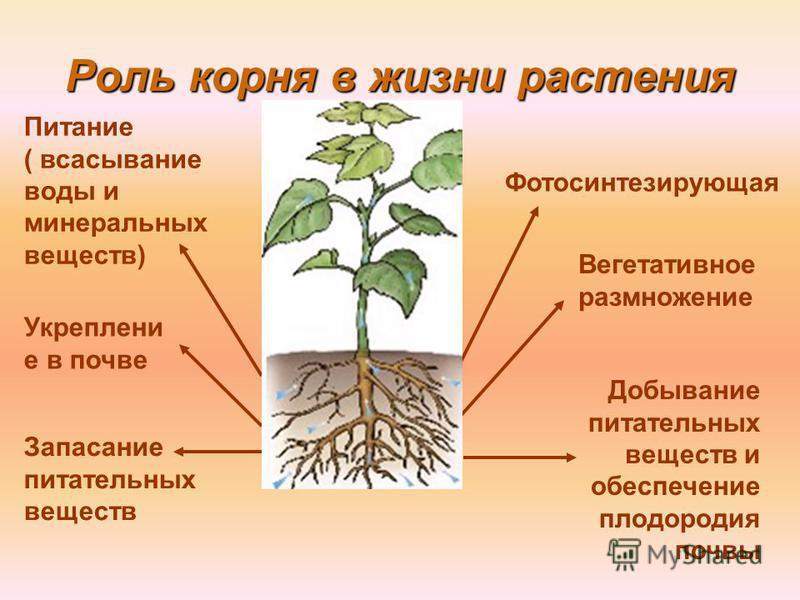 Роль корня в жизни растения Укреплени е в почве Вегетативное размножение Запасание питательных веществ Питание ( всасывание воды и минеральных веществ) Добывание питательных веществ и обеспечение плодородия почвы Фотосинтезирующая