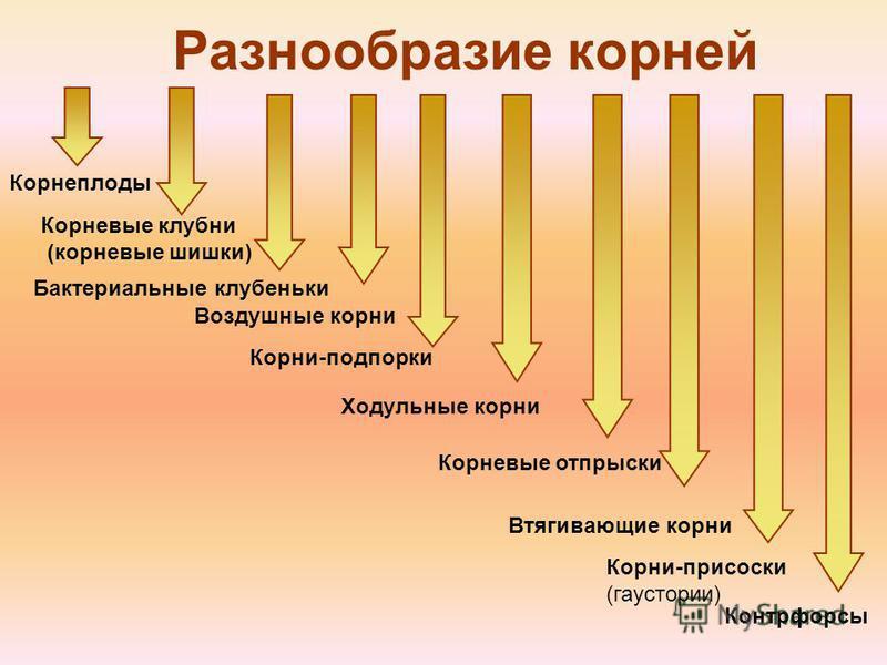 Разнообразие корней Корнеплоды Корневые клубни (корневые шишки) Бактериальные клубеньки Ходульные корни Воздушные корни Втягивающие корни Корни-подпорки Контрфорсы Корни-присоски (гаустории) Корневые отпрыски