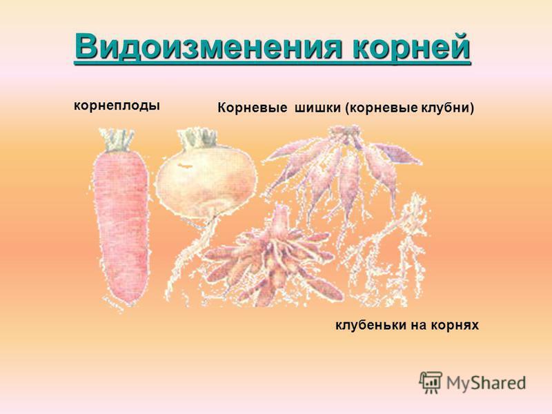 Видоизменения корней Видоизменения корней корнеплоды Корневые шишки (корневые клубни) клубеньки на корнях