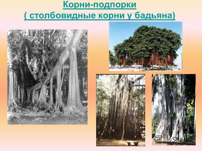 Корни-подпорки ( столбовидные корни у бадьяна)