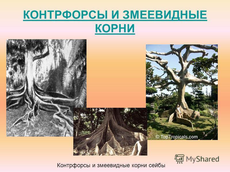 КОНТРФОРСЫ И ЗМЕЕВИДНЫЕ КОРНИ Контрфорсы и змеевидные корни сейбы