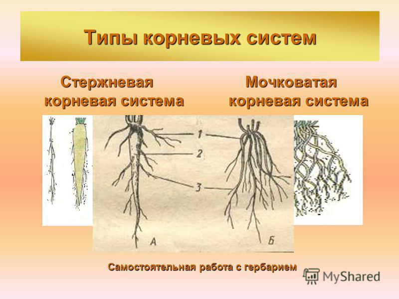 Типы корневых систем Стержневая корневая система Мочковатая корневая система Самостоятельная работа с гербарием