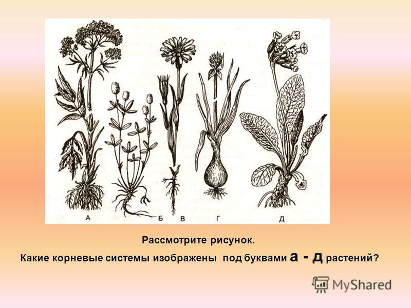 Рассмотрите рисунок. Какие корневые системы изображены под буквами а - д растений?
