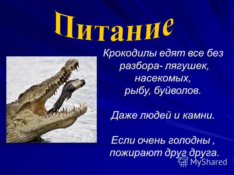 Крокодилы едят все без разбора- лягушек, насекомых, рыбу, буйволов. Даже людей и камни. Если очень голодны, пожирают друг друга.