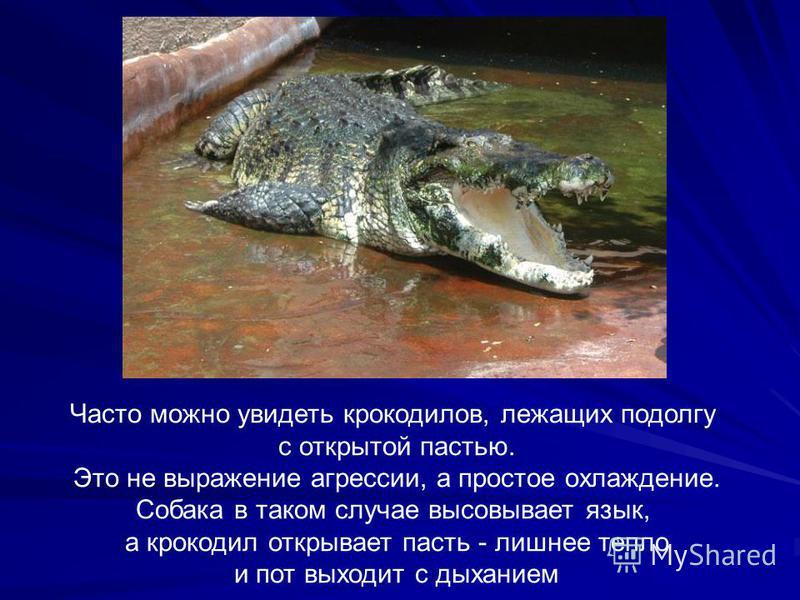 Часто можно увидеть крокодилов, лежащих подолгу с открытой пастью. Это не выражение агрессии, а простое охлаждение. Собака в таком случае высовывает язык, а крокодил открывает пасть - лишнее тепло и пот выходит с дыханием