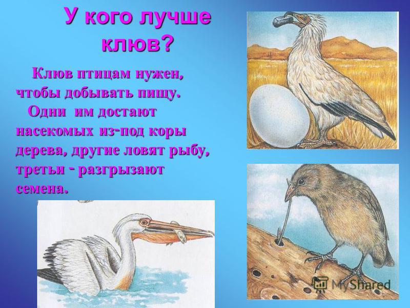 У кого лучше клюв? Клюв птицам нужен, чтобы добывать пищу. Клюв птицам нужен, чтобы добывать пищу. Одни им достают насекомых из - под коры дерева, другие ловят рыбу, третьи - разгрызают семена. Одни им достают насекомых из - под коры дерева, другие л