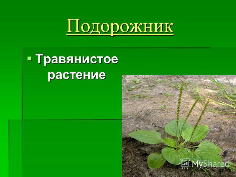 Подорожник Травянистое растение Травянистое растение