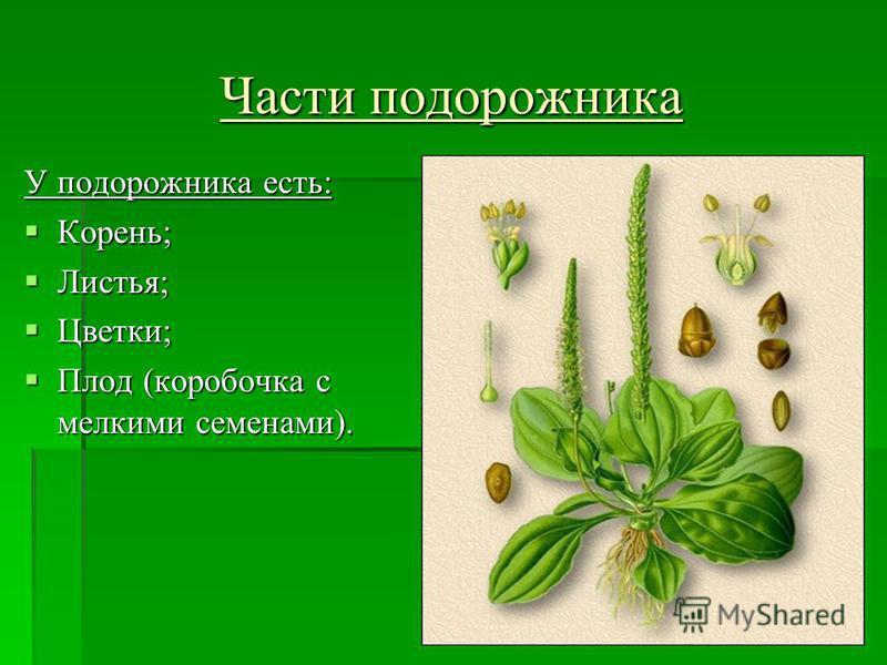 Части подорожника У подорожника есть: Корень; Листья; Цветки; Плод (коробочка с мелкими семенами).