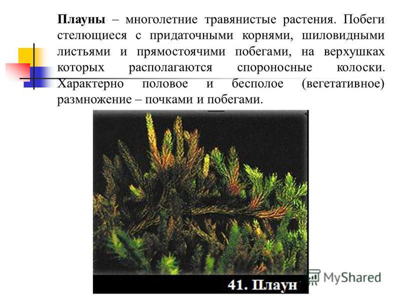 Плауны – многолетние травянистые растения. Побеги стелющиеся с придаточными корнями, шиловидными листьями и прямостоячими побегами, на верхушках которых располагаются спороносные колоски. Характерно половое и бесполое (вегетативное) размножение – поч