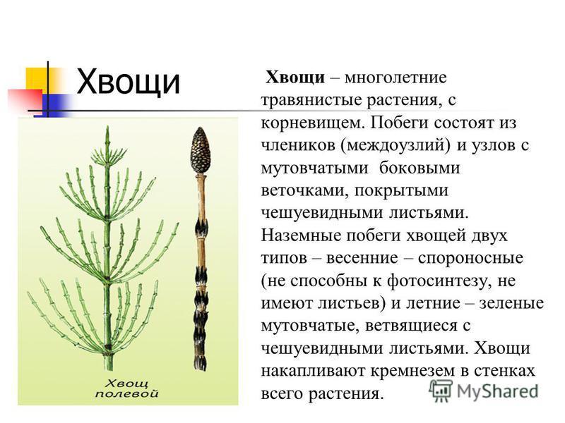 Хвощи Хвощи – многолетние травянистые растения, с корневищем. Побеги состоят из члеников (междоузлий) и узлов с мутовчатыми боковыми веточками, покрытыми чешуевидными листьями. Наземные побеги хвощей двух типов – весенние – спороносные (не способны к
