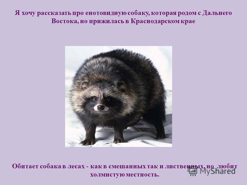 Я хочу рассказать про енотовидную собаку, которая родом с Дальнего Востока, но прижилась в Краснодарском крае Обитает собака в лесах - как в смешанных так и лиственных, но любит холмистую местность.