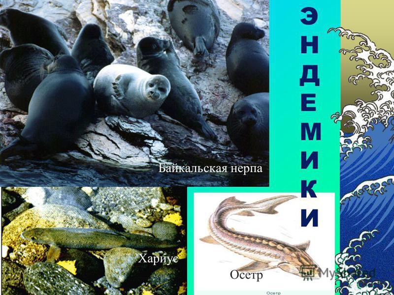 Органический мир Байкала. Уникальность флоры и фауны озера заключается в том, что больше нигде в мире вы не встретите этих удивительных организмов. До сих пор ученые не могут объяснить происхождение и распространение этих видов. Всего 2630 видов из н