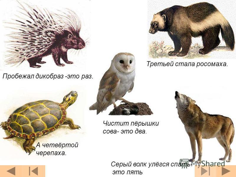 Пробежал дикобраз -это раз. Чистит пёрышки сова- это два. Третьей стала росомаха. А четвёртой черепаха. Серый волк улёгся спать- это пять