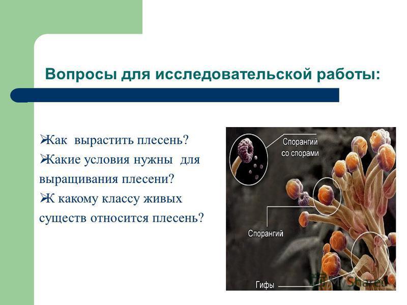 Вопросы для исследовательской работы: Как вырастить плесень? Какие условия нужны для выращивания плесени? К какому классу живых существ относится плесень?