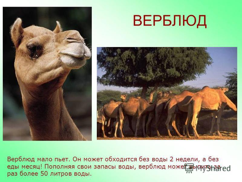 ВЕРБЛЮД Живут верблюды в пустыне рядом с человеком, как домашнее животное. Очень ценится верблюжье молоко и шерсть, из которого делают теплые одеяла.