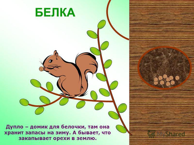 БЕЛКА Белки – всеядные животные, любят лакомиться орехами, грибами, ягодами, семенами. Весной питаются почками деревьев. Иногда едят насекомых, лягушек и небольших птиц.