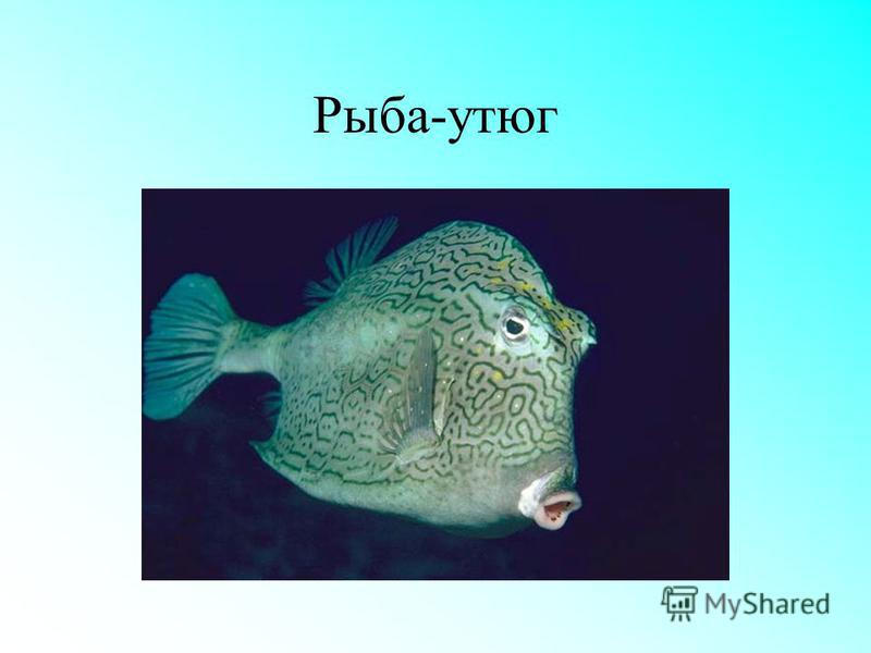 Рыба-утюг