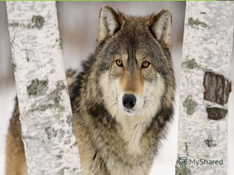 Волк обитает в самых разных местах, но больше всего предпочитает степи, тундру избегая густых лесных массивов. Волк это хищник, добывающий пищу активным поиском и преследованием жертв. Основу питания волков составляют копытные животные.