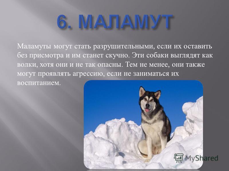 Маламуты могут стать разрушительными, если их оставить без присмотра и им станет скучно. Эти собаки выглядят как волки, хотя они и не так опасны. Тем не менее, они также могут проявлять агрессию, если не заниматься их воспитанием.