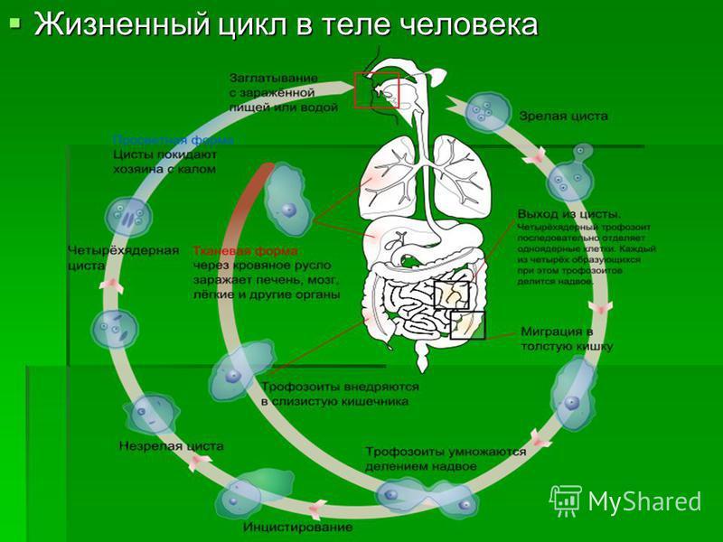 Жизненный цикл в теле человека Жизненный цикл в теле человека