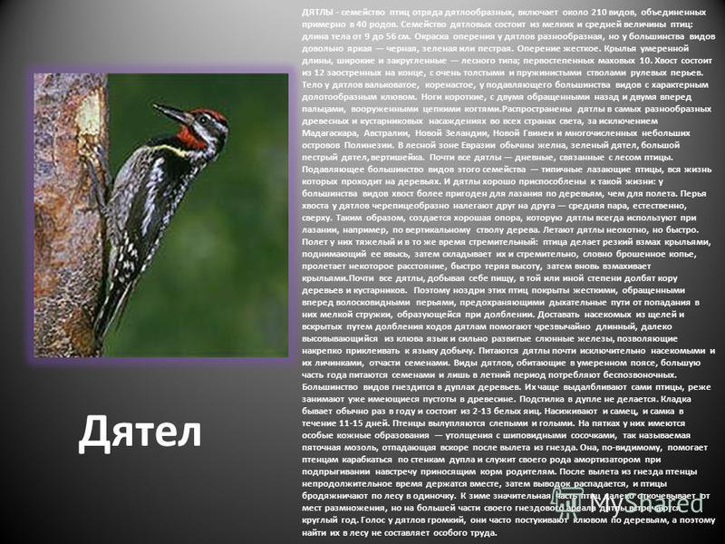 Дятел ДЯТЛЫ - семейство птиц отряда дятлообразных, включает около 210 видов, объединенных примерно в 40 родов. Семейство дятловых состоит из мелких и средней величины птиц: длина тела от 9 до 56 см. Окраска оперения у дятлов разнообразная, но у больш