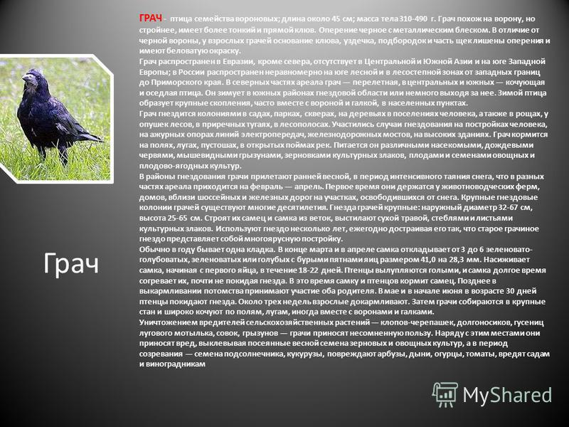 ГРАЧ - птица семейства вороновых; длина около 45 см; масса тела 310-490 г. Грач похож на ворону, но стройнее, имеет более тонкий и прямой клюв. Оперение черное с металлическим блеском. В отличие от черной вороны, у взрослых грачей основание клюва, уз