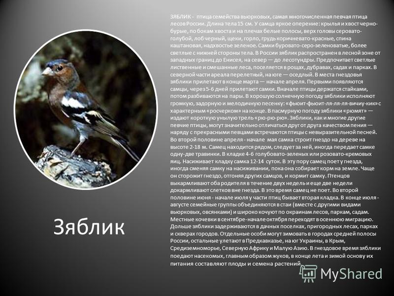 Зяблик ЗЯБЛИК - птица семейства вьюрковых, самая многочисленная певчая птица лесов России. Длина тела 15 см. У самца яркое оперение: крылья и хвост черно- бурые, по бокам хвоста и на плечах белые полосы, верх головы серовато- голубой, лоб черный, щек