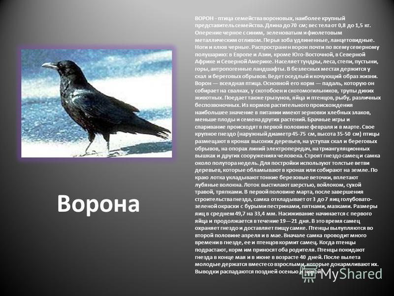 Ворона ВОРОН - птица семейства вороновых, наиболее крупный представитель семейства. Длина до 70 см; вес тела от 0,8 до 1,5 кг. Оперение черное с синим, зеленоватым и фиолетовым металлическим отливом. Перья зоба удлиненные, ланцетовидные. Ноги и клюв