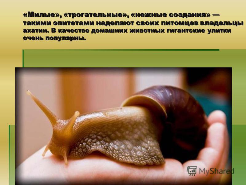 «Милые», «трогательные», «нежные создания» такими эпитетами наделяют своих питомцев владельцы ахатин. В качестве домашних животных гигантские улитки очень популярны.