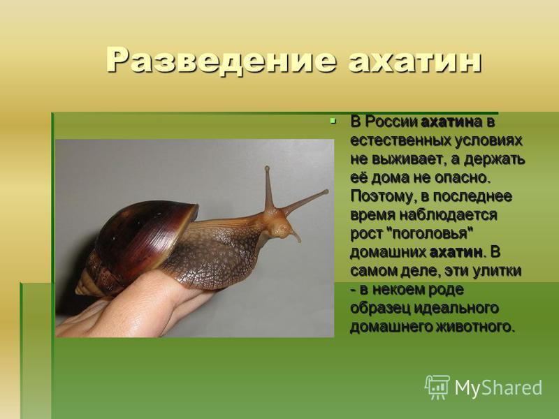 Разведение ахатин В России ахатина в естественных условиях не выживает, а держать её дома не опасно. Поэтому, в последнее время наблюдается рост