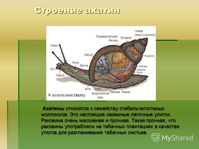Строение ахатин Ахатины относятся к семейству стебельчатоглазых моллюсков. Это настоящие наземные легочные улитки. Раковина очень массивная и прочная. Такая прочная, что раковины употребляли на табачных плантациях в качестве утюгов для разглаживания