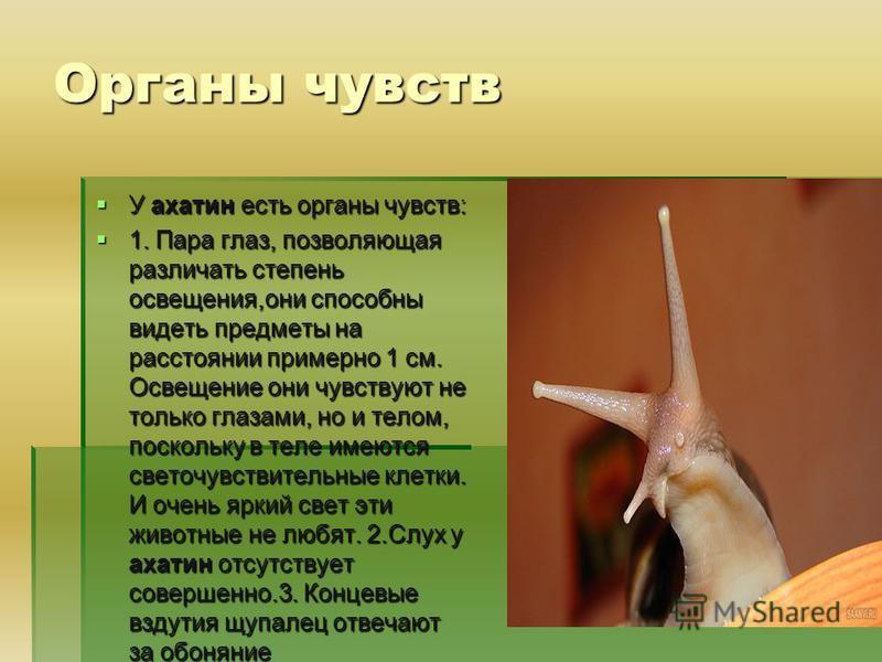 Органы чувств У ахатин есть органы чувств: У ахатин есть органы чувств: 1. Пара глаз, позволяющая различать степень освещения,они способны видеть предметы на расстоянии примерно 1 см. Освещение они чувствуют не только глазами, но и телом, поскольку в