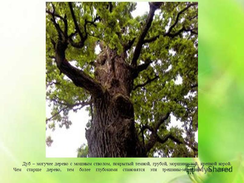 Дуб – могучее дерево с мощным стволом, покрытый темной, грубой, морщинистой, крепкой корой. Чем старше дерево, тем более глубокими становятся эти трещины-морщины на стволе.