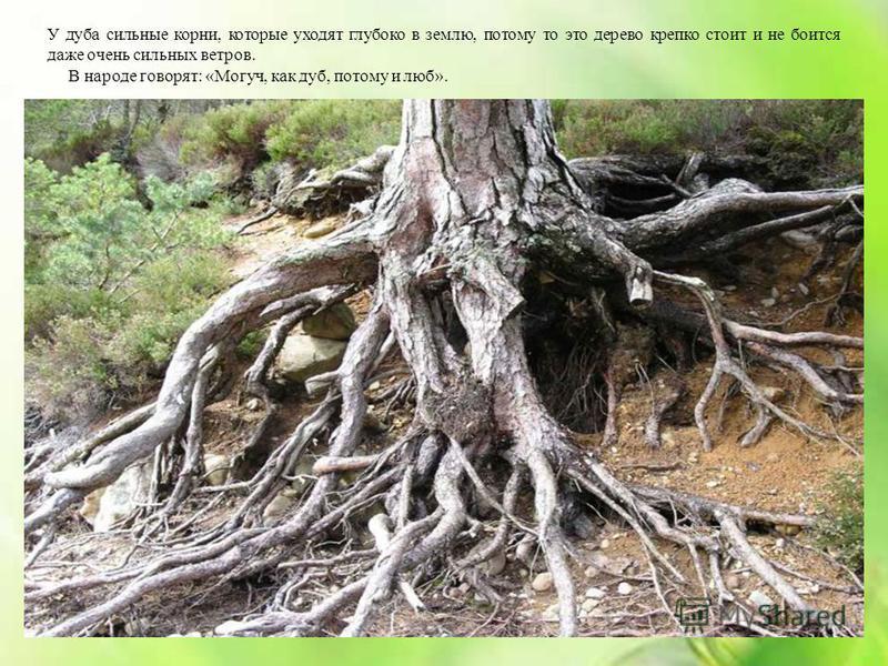 У дуба сильные корни, которые уходят глубоко в землю, потому то это дерево крепко стоит и не боится даже очень сильных ветров. В народе говорят: «Могуч, как дуб, потому и люб».