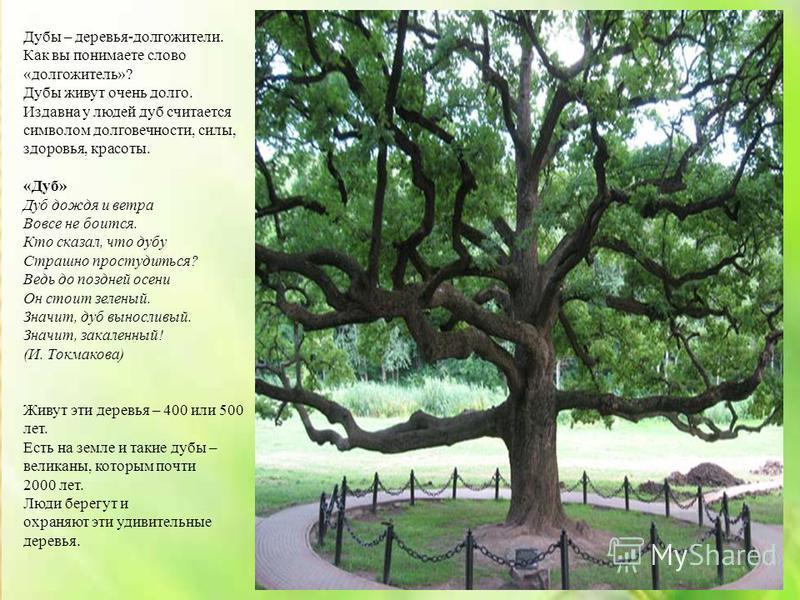 Дубы – деревья-долгожители. Как вы понимаете слово «долгожитель»? Дубы живут очень долго. Издавна у людей дуб считается символом долговечности, силы, здоровья, красоты. «Дуб» Дуб дождя и ветра Вовсе не боится. Кто сказал, что дубу Страшно простудитьс