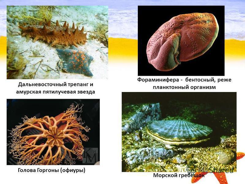 Дальневосточный трепанг и амурская пятилучевая звезда Голова Горгоны (офиуры) Морской гребешок Фораминифера - бентосный, реже планктонный организм