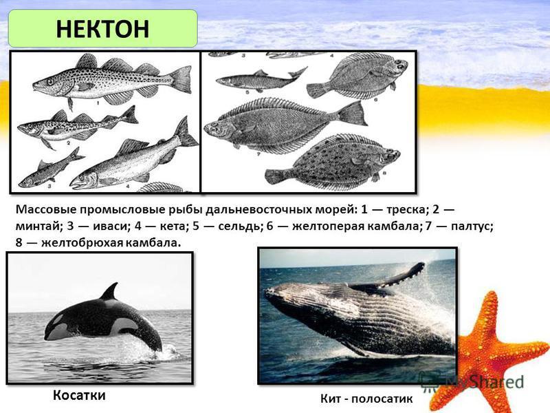 НЕКТОН Массовые промысловые рыбы дальневосточных морей: 1 треска; 2 минтай; 3 иваси; 4 кета; 5 сельдь; 6 желтоперая камбала; 7 палтус; 8 желтобрюхая камбала. Косатки Кит - полосатик