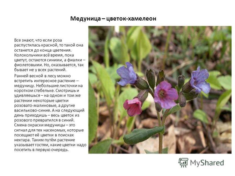 Медуница – цветок-хамелеон Все знают, что если роза распустилась красной, то такой она останется до конца цветения. Колокольчики всё время, пока цветут, остаются синими, а фиалки – фиолетовыми. Но, оказывается, так бывает не у всех растений. Ранней в