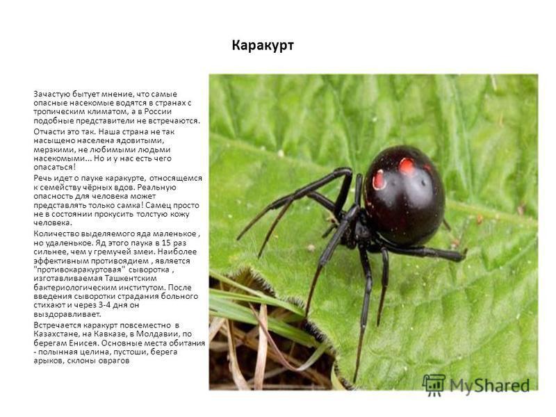 Каракурт Зачастую бытует мнение, что самые опасные насекомые водятся в странах с тропическим климатом, а в России подобные представители не встречаются. Отчасти это так. Наша страна не так насыщено населена ядовитыми, мерзкими, не любимыми людьми нас