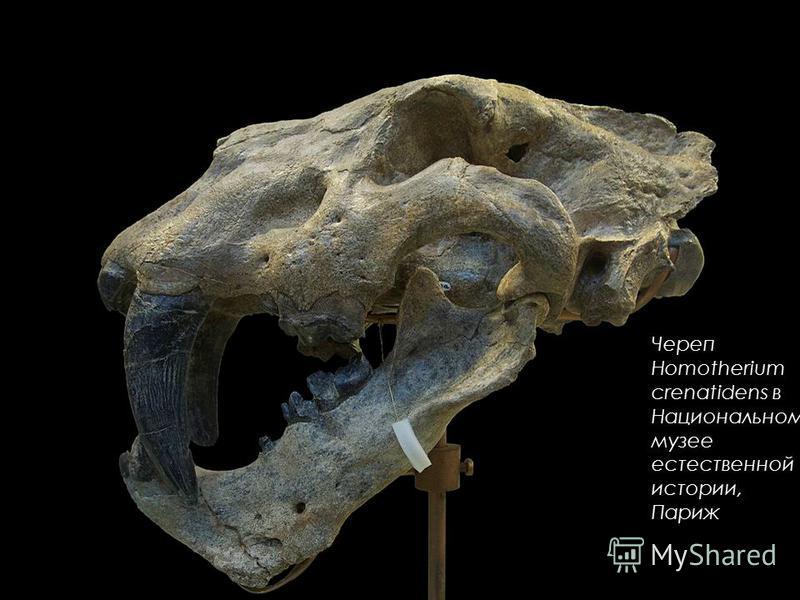 Череп Homotherium crenatidens в Национальном музее естественной истории, Париж