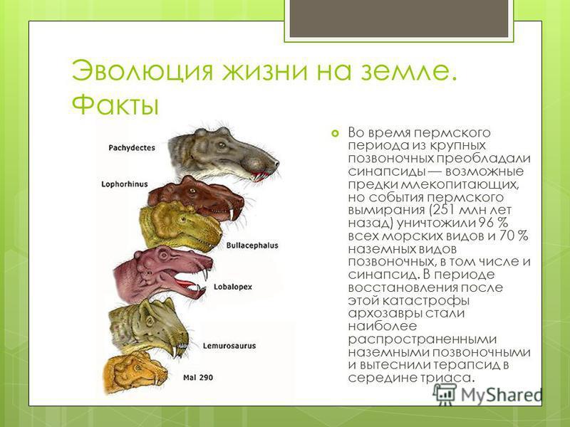 Эволюция жизни на земле. Факты Во время пермского периода из крупных позвоночных преобладали синапсиды возможные предки млекопитающих, но события пермского вымирания (251 млн лет назад) уничтожили 96 % всех морских видов и 70 % наземных видов позвоно