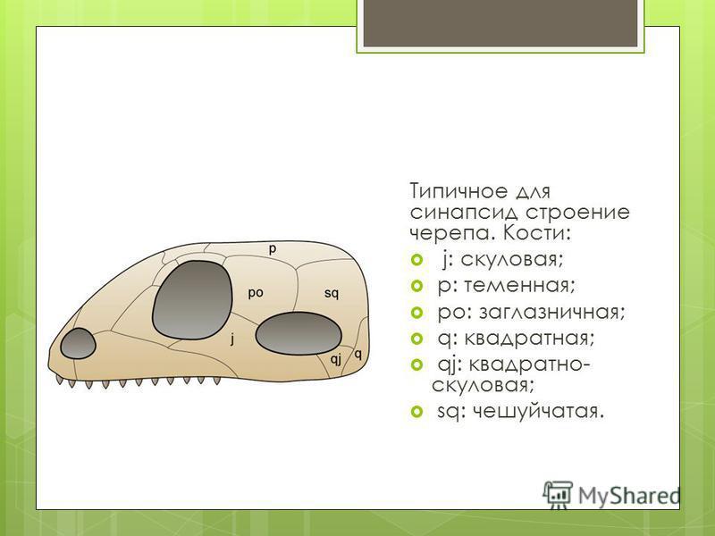 Типичное для синапсид строение черепа. Кости: j: скуловая; p: теменная; po: заглазничная; q: квадратная; qj: квадратно- скуловая; sq: чешуйчатая.