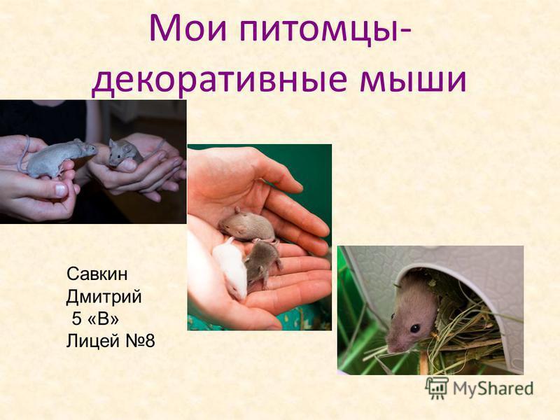 Мои питомцы- декоративные мыши Савкин Дмитрий 5 «В» Лицей 8