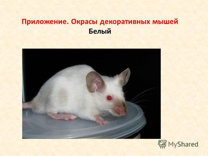 Приложение. Окрасы декоративных мышей Белый