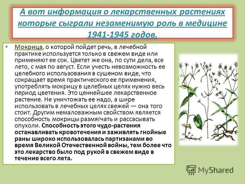 А вот информация о лекарственных растениях которые сыграли незаменимую роль в медицине 1941-1945 годов. Мокрица, о которой пойдет речь, в лечебной практике используется только в свежем виде или применяют ее сок. Цветет же она, по сути дела, все лето,