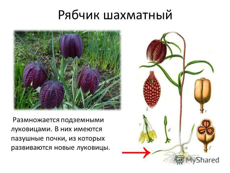 Рябчик шахматный Размножается подземными луковицами. В них имеются пазушные почки, из которых развиваются новые луковицы.